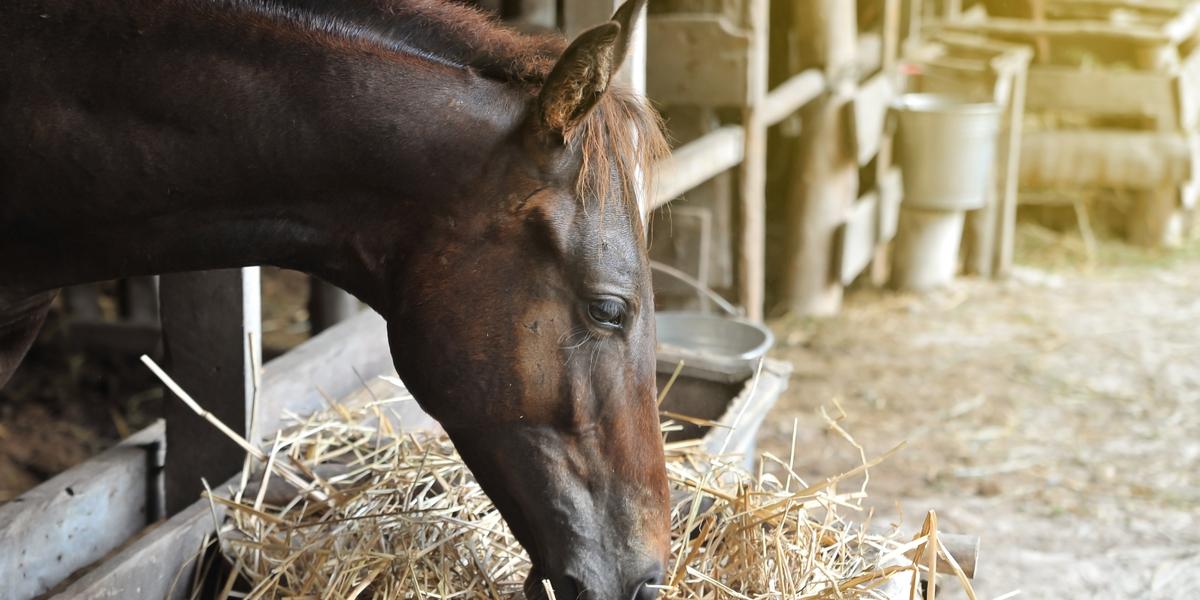 Horse eating hey