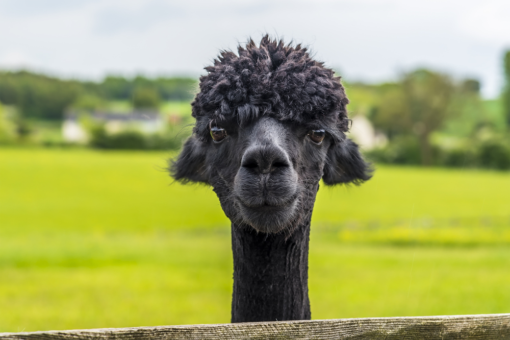 picture of a happy and healthy alpaca